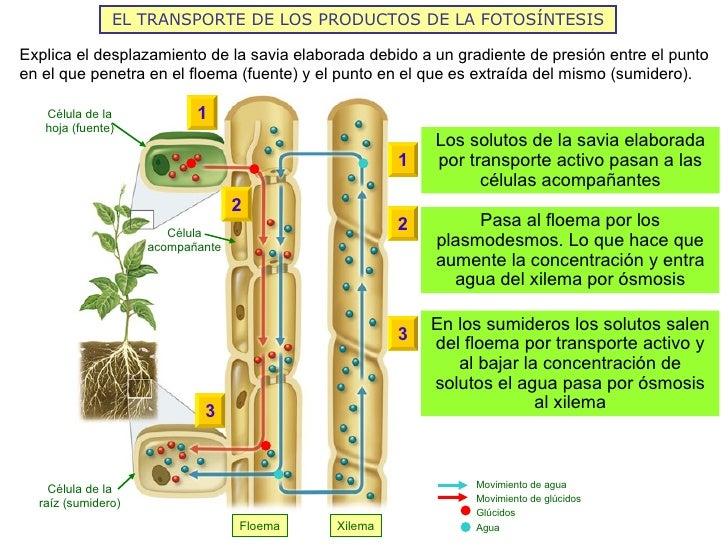 EL TRANSPORTE DE LOS PRODUCTOS DE LA FOTOSÍNTESISExplica el desplazamiento de la savia elaborada debido a un gradiente de ...