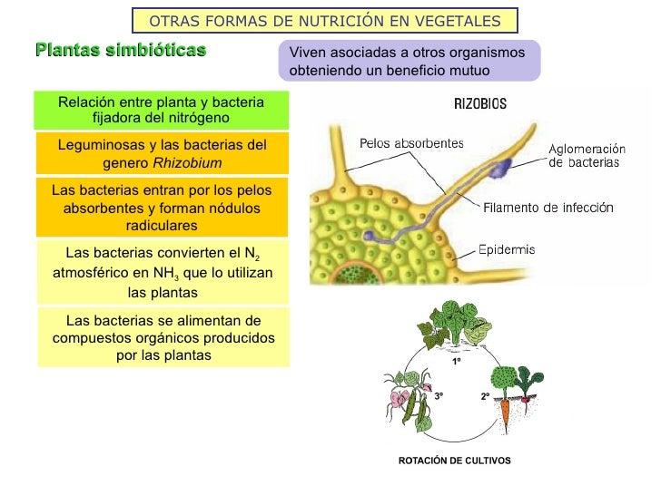 OTRAS FORMAS DE NUTRICIÓN EN VEGETALESPlantas simbióticas                   Viven asociadas a otros organismos            ...
