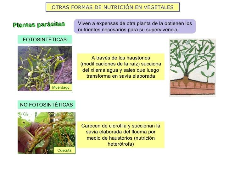 OTRAS FORMAS DE NUTRICIÓN EN VEGETALESPlantas parásitas       Viven a expensas de otra planta de la obtienen los          ...