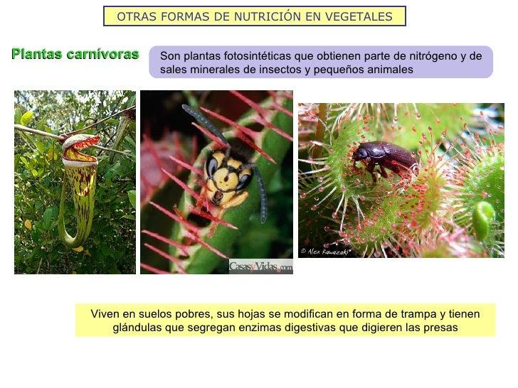 OTRAS FORMAS DE NUTRICIÓN EN VEGETALESPlantas carnívoras      Son plantas fotosintéticas que obtienen parte de nitrógeno y...