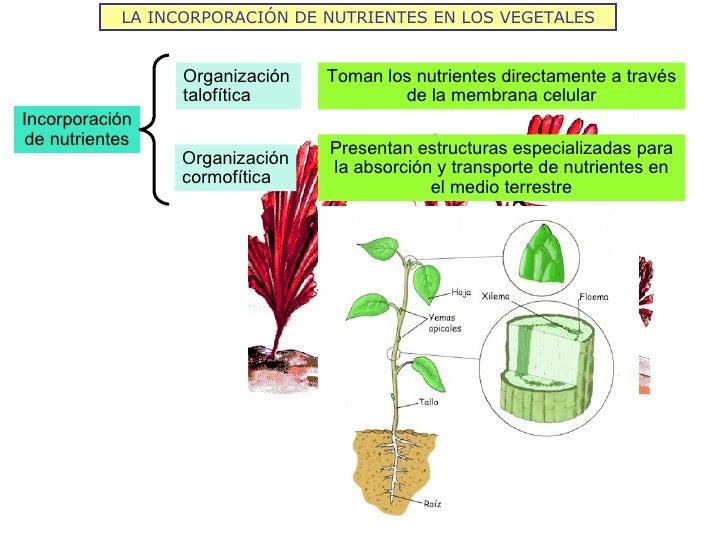 LA INCORPORACIÓN DE NUTRIENTES EN LOS VEGETALES                 Organización   Toman los nutrientes directamente a través ...