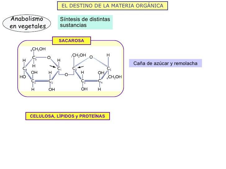 EL DESTINO DE LA MATERIA ORGÁNICAAnabolismo       Síntesis de distintasen vegetales     sustancias                 SACAROS...