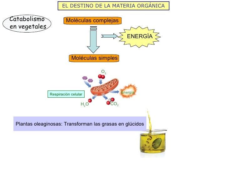 EL DESTINO DE LA MATERIA ORGÁNICACatabolismo              Moléculas complejasen vegetales                                 ...