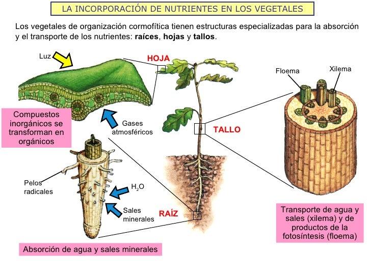 LA INCORPORACIÓN DE NUTRIENTES EN LOS VEGETALES Los vegetales de organización cormofítica tienen estructuras especializada...