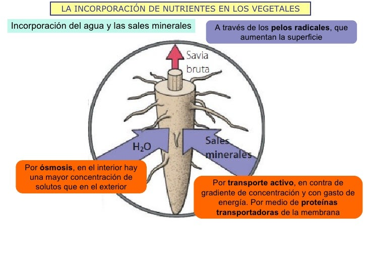 LA INCORPORACIÓN DE NUTRIENTES EN LOS VEGETALESIncorporación del agua y las sales minerales      A través de los pelos rad...