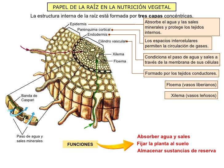 PAPEL DE LA RAÍZ EN LA NUTRICIÓN VEGETAL       La estructura interna de la raíz está formada por tres capas concéntricas. ...