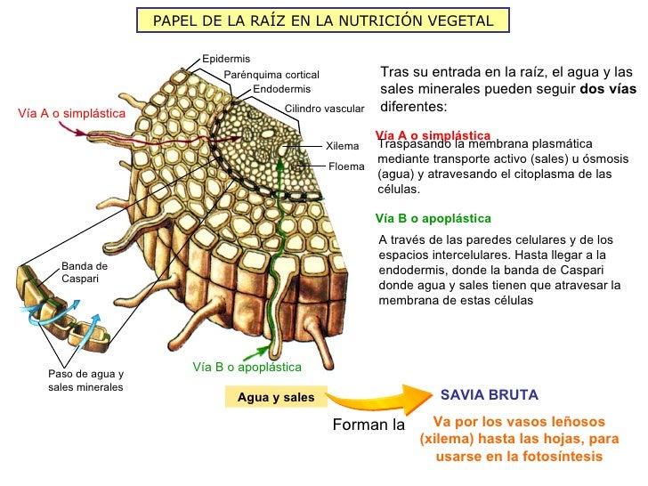PAPEL DE LA RAÍZ EN LA NUTRICIÓN VEGETAL                            Epidermis                                Parénquima co...