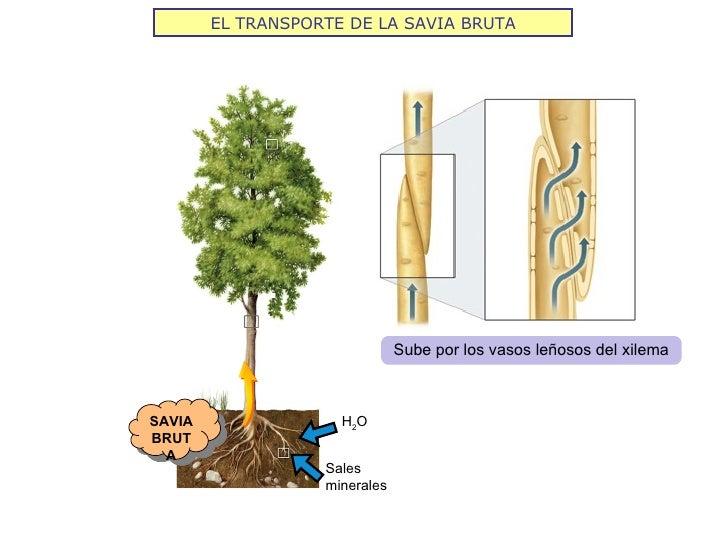 EL TRANSPORTE DE LA SAVIA BRUTA                               Sube por los vasos leñosos del xilemaSAVIA                H2...