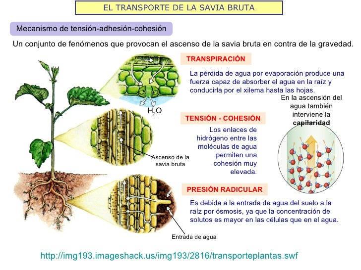 EL TRANSPORTE DE LA SAVIA BRUTAMecanismo de tensión-adhesión-cohesiónUn conjunto de fenómenos que provocan el ascenso de l...