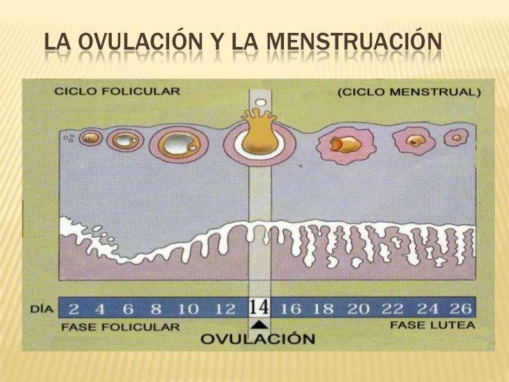 La ovulación y la menstruación<br />