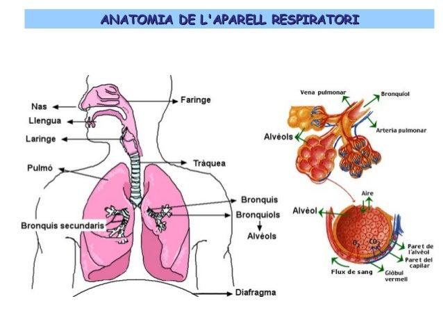 Resultado de imagen de aparell respiratori
