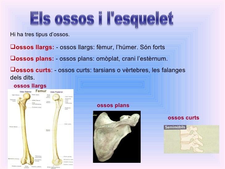 <ul><li>ossos llargs:  - ossos llargs: fèmur, l'húmer. Són forts </li></ul><ul><li>ossos plans:  - ossos plans: omòplat, c...