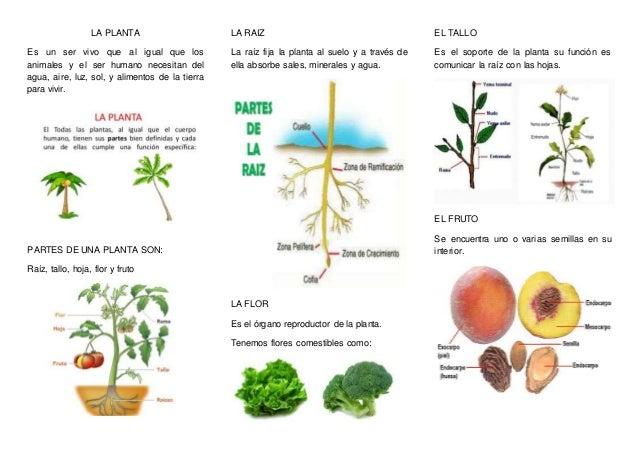 La planta for Funcion de las plantas ornamentales
