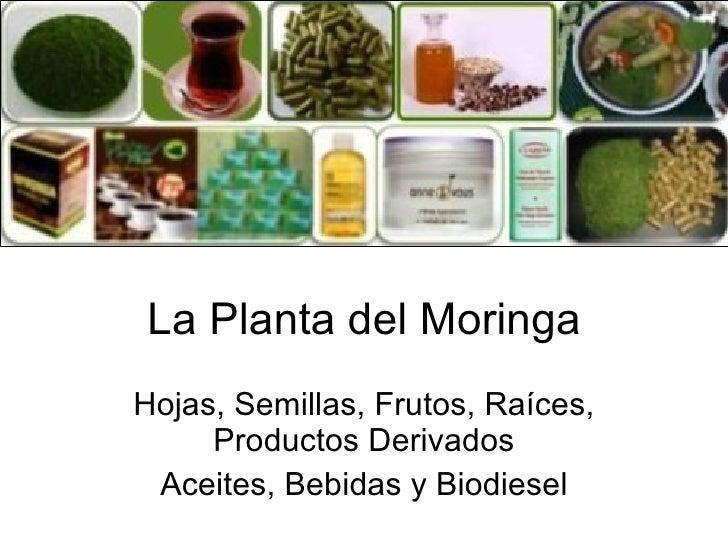 La Planta del Moringa Hojas, Semillas, Frutos, Raíces, Productos Derivados Aceites, Bebidas y Biodiesel
