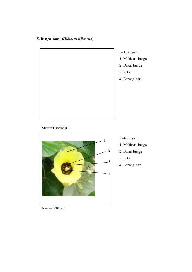 Laporan praktikum 5 bunga tunggal morfologi tumbuhan benang sari 5 8 5 bunga waru hibiscus tiliaceus ccuart Images