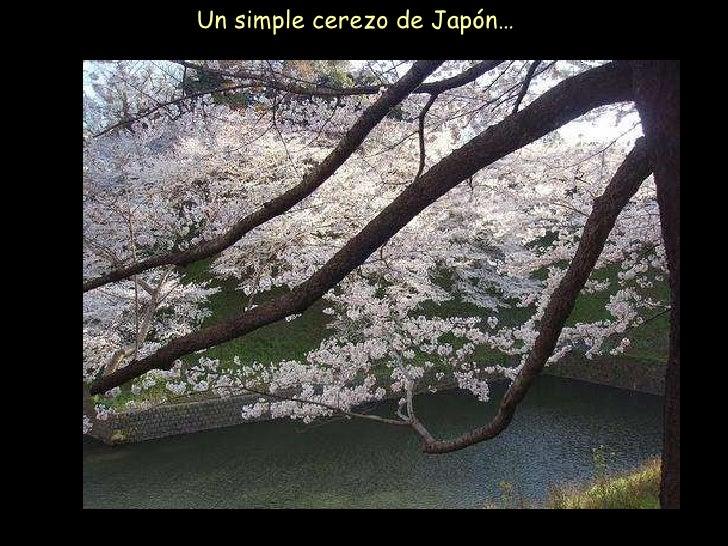 Un simple cerezo de Japón…