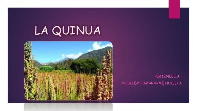 LA QUINUA  PERTENECE A : YOSILEM PUMARAYME HUILLCA