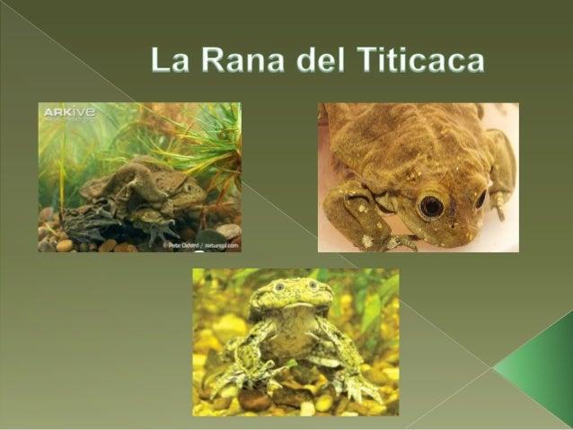    Se encuentra    únicamente en el Lago    Titicaca (lago ubicado a    3815 m.s.n.m.) y es    compartido entre Perú y   ...