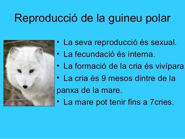 La reproducció de la guineu polar Slide 3