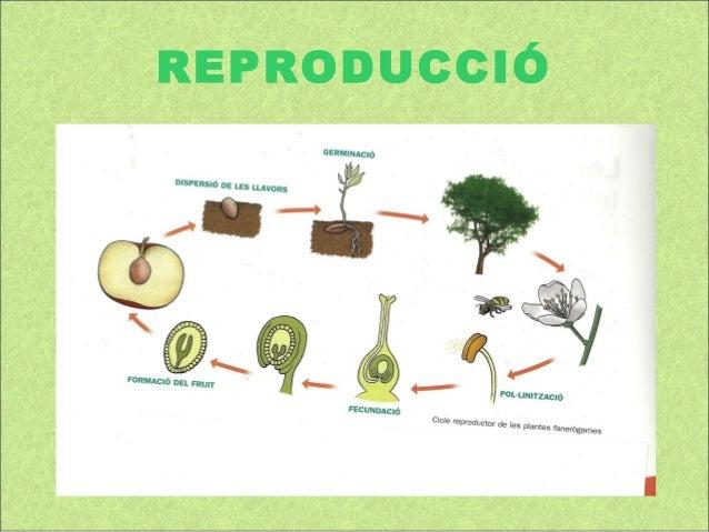 La reproducci de les plantes for Les plantes