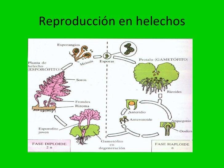 Ejemplos de fragmentacion asexual reproduction