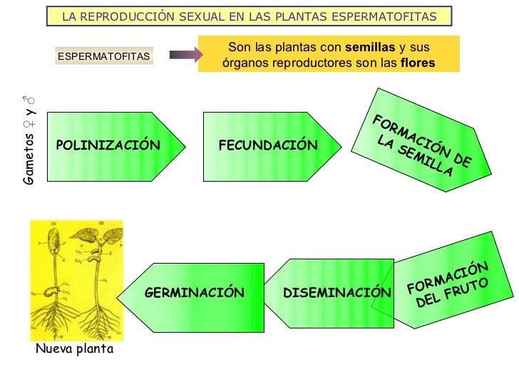 Espermatofitas reproduccion asexual de las plantas