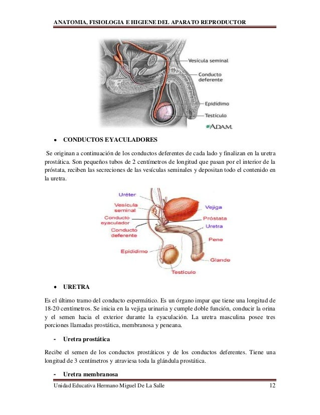Único Anatomía De La Próstata Del Ratón Molde - Imágenes de Anatomía ...