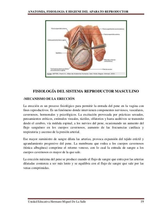Lujoso Anatomía De Las Arterias Del Pene Imagen - Imágenes de ...