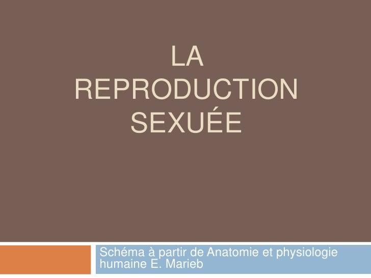 La reproduction sexuée<br />Schéma à partir de Anatomie et physiologie humaine E. Marieb<br />