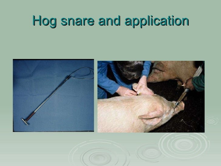 sheep prolapse harness instructions