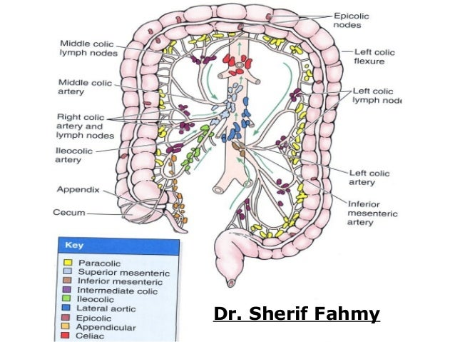 Large Intestines Anatomy Of The Abdomen
