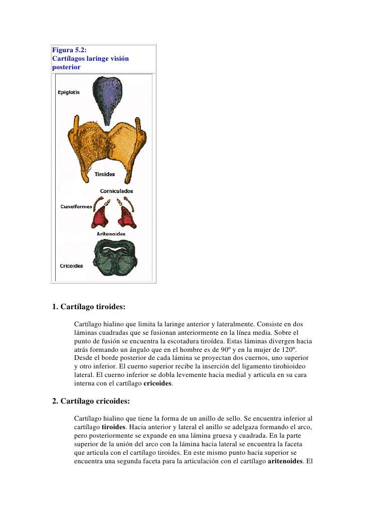 Laringe anatomia. resumen