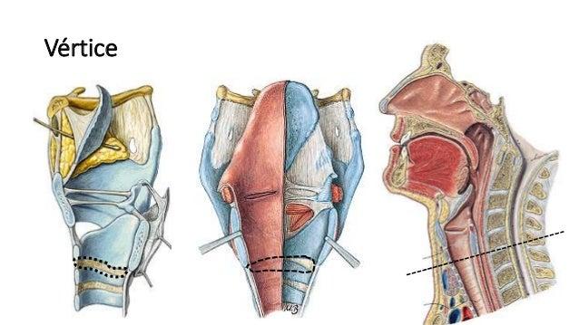 Anatomía de la Laringe (Vasos, Nervios, Cartilagos, Musculos)