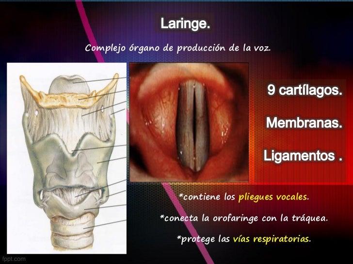 Laringe Anatomia 2.