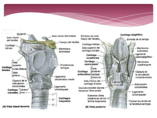 anatomia de la laringe y tráquea