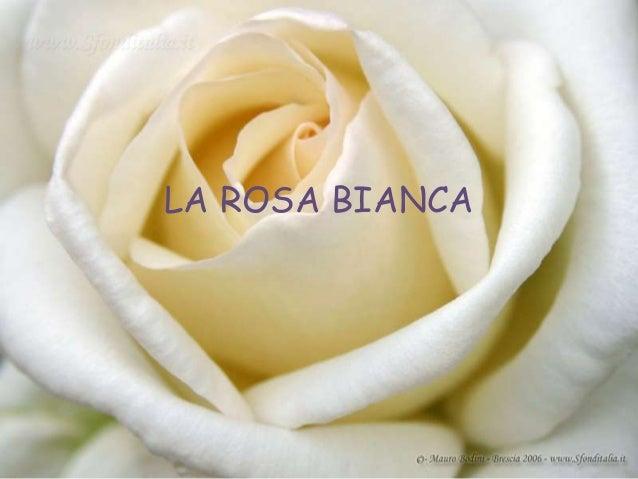 la rosa bianca ceretta