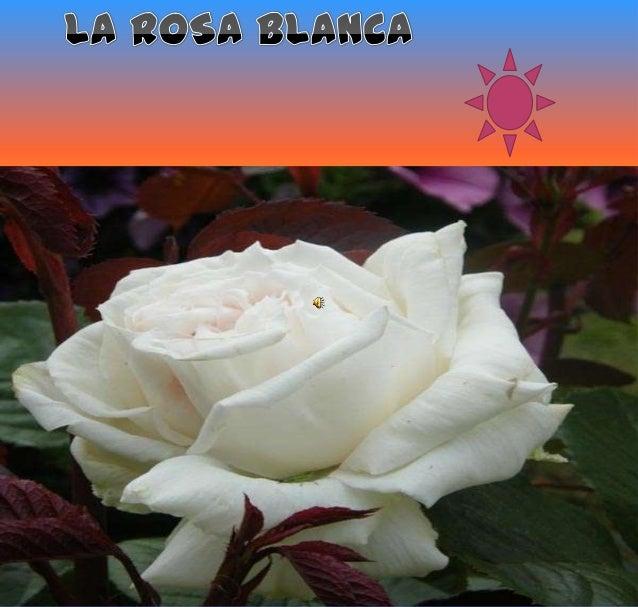 En un jardín de matorrales, entre hierbas y maleza, apareció como salida de la nada una rosa blanca. Era blanca como la ni...