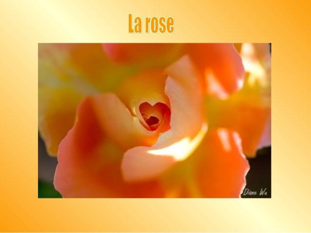 Un certain homme planta une rose et l'arrosa fidèlement et avant qu'elle ne fleurisse, il l'examina. Il vit le bouton qui ...