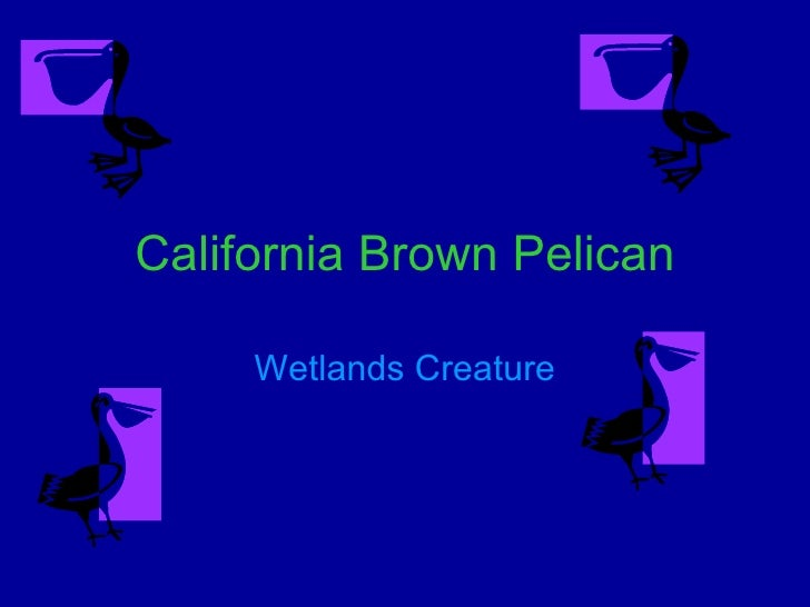 California Brown Pelican Wetlands Creature