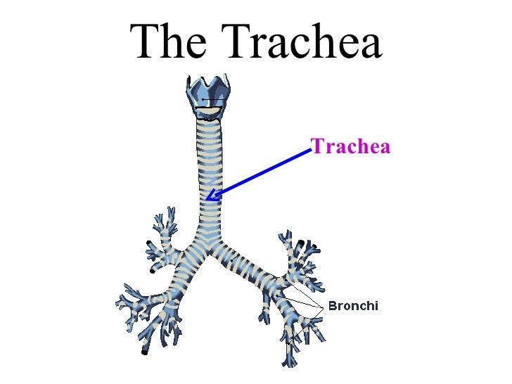 Laryn Trachea