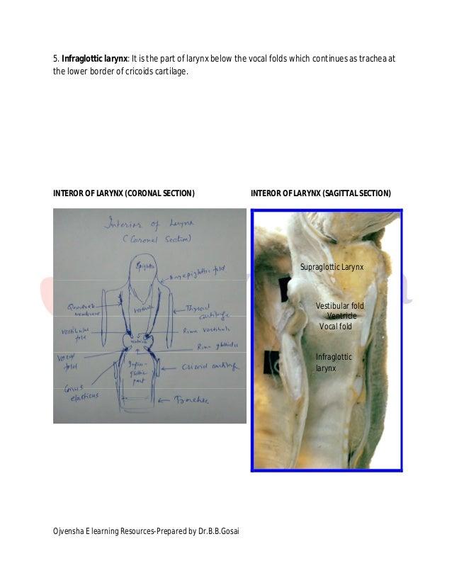 Tolle Funktion Des Larynx Bilder - Menschliche Anatomie Bilder ...