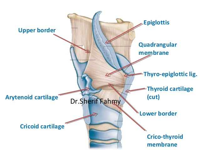The Larynx (Anatomy of the Neck)