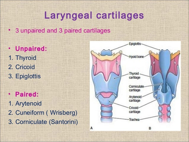 Clinical anatomy and physiology of larynx