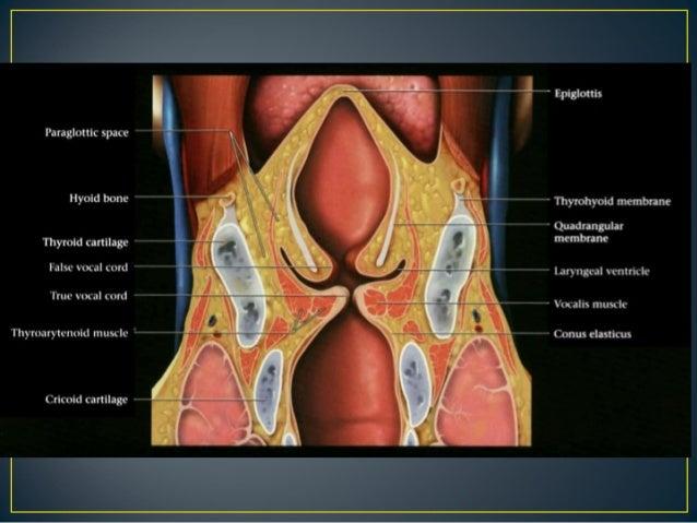 Larynx Anatomy Ct And Mri