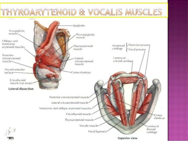 Larynx anatomy of larynx (1)