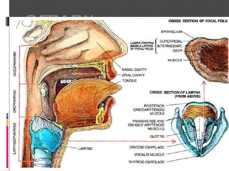 OVERVIEW <ul><li>Larynx is also known as the vocal cord </li></ul>