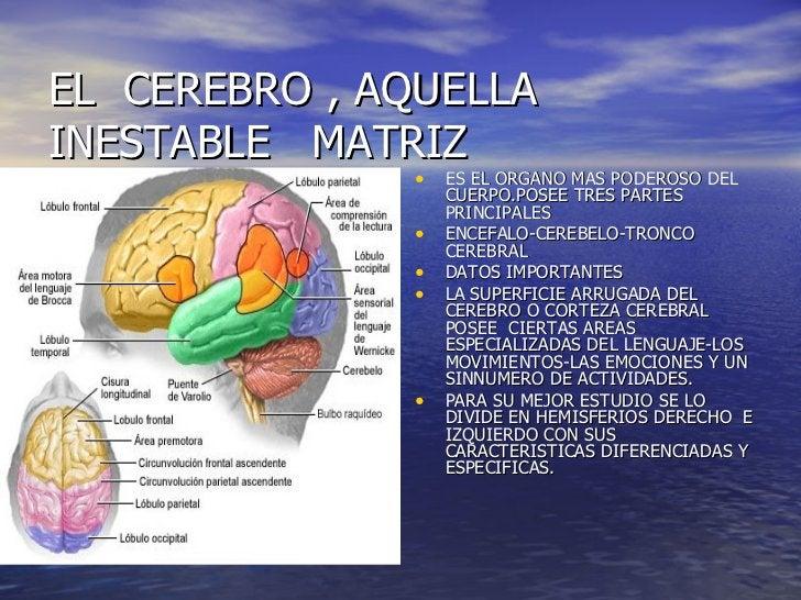 EL  CEREBRO , AQUELLA  INESTABLE  MATRIZ <ul><li>ES EL ORGANO MAS PODEROSO DEL CUERPO.POSEE TRES PARTES PRINCIPALES </li><...