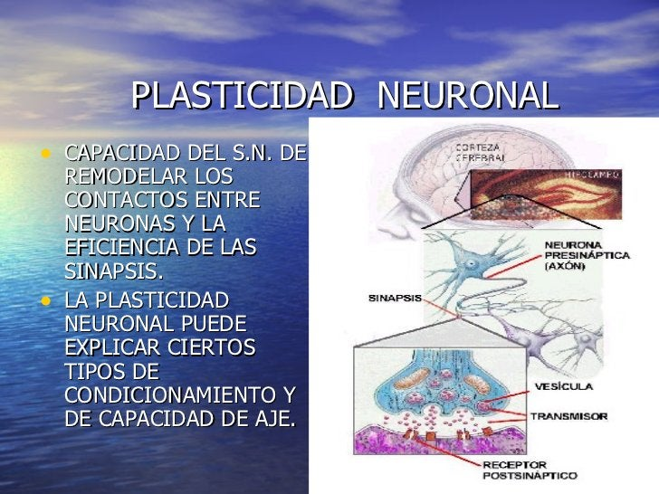 PLASTICIDAD  NEURONAL <ul><li>CAPACIDAD DEL S.N. DE REMODELAR LOS CONTACTOS ENTRE NEURONAS Y LA EFICIENCIA DE LAS SINAPS...