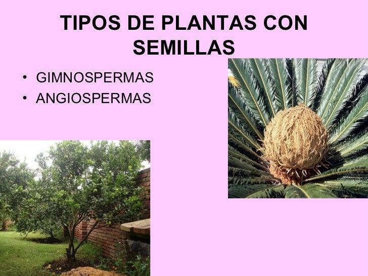 tipos de plantas con semillas ul li gimnospermas li ul