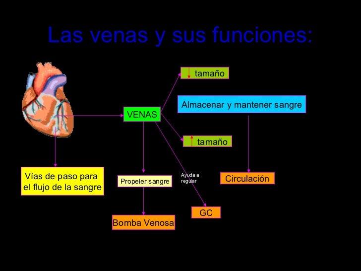 Las venas y sus funciones: VENAS tamaño   tamaño  Vías de paso para  el flujo de la sangre Almacenar y mantener sangre Cir...